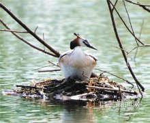 凤头筑巢孵蛋
